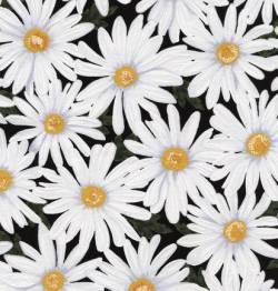 Daisies - black Love - Gänseblümchen auf schwarz - Timeless Treausres